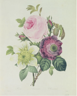 Rose from the gallery of Pierre Joseph Redoute